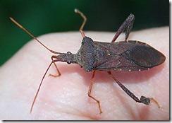 stink-bugs
